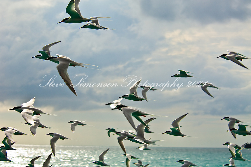 Terns flying<br /> British Virgin Islands
