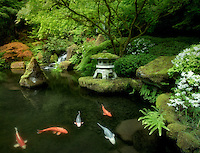 Koi in pond with Japanese lantern and waterfalls. Japanese Gardens. Portland, Oregon
