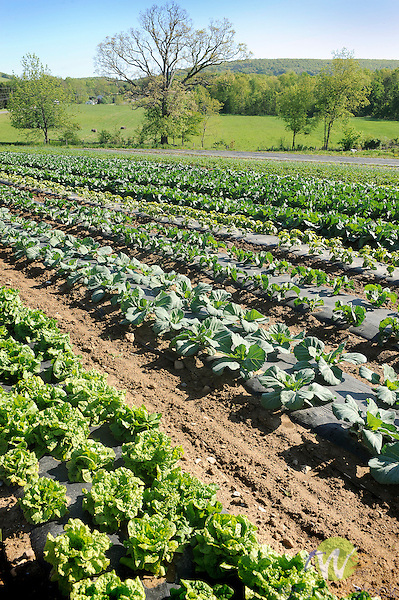 Field of vegetables. Nippenose Valley.