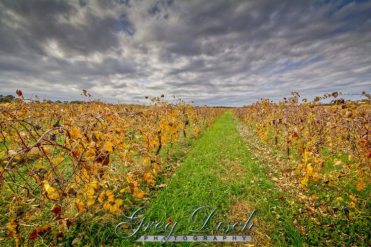 Vinyards in the the fall in Arkansas wine country near Altus Arkansas.