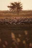 Europe/France/Provence-Alpes-Côte d'Azur/13/Bouches-du-Rhône/Camargue: Brebie et chèvre au soleil couchant