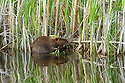 North America, Canada, Alberta, Waterton Lakes National Park.  Beaver collecting willows.