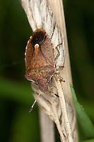 Baumwanze, Frühlings-Baumwanze, Peribalus vernalis, Holcostethus vernalis, Holcostethus strictus, Peribalus strictus