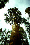 CA: Sequoia-Kings Canyon National Park, General Sherman Tree, Largest of the Sequoia trees, sequoiadendron giganteu, largest tree on earth         .Photo Copyright: Lee Foster, lee@fostertravel.com, www.fostertravel.com, (510) 549-2202.Image: catree204