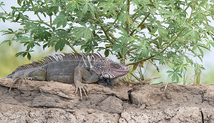 A male green iguana perched on the banks of the Rio Tarcoles.