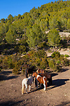 Horses from Fundacion Miranda, let roam wild in the Parc de Garraf to control vegetation. Olivella, Garraf, Catalonia, Spain. The Foundation rescues horses found in states of neglect - and some 32 horses are spending the winter in the Garraf. Horses are the only animal to eat càrritx, an invasive species in the region. mpelodesmos mauritanica