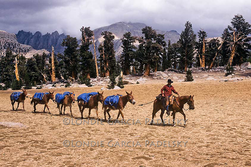Cowboy leading pack mules on high mountain plateau, Sierra Nevada, Sequoia National Park, California