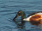 Northern Shoveler (Anas clypeata) male feeding by dabbling its bill through the water, California, USA<br /> Slide # B24-555