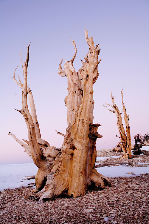 Ancient bristlecone pines, 3000 to 4000 years old, endure the harsh environment at 10,000 to 11,000 ft elevation in the White Mountains of California