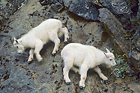 Two young mountain goat (Oreamnos americanus) kids playing on cliff face, Pacific N.W.
