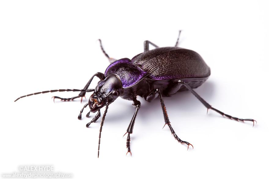 Violet Ground Beetle {Carabus violaceus}, a 'gardener's friend' that eats slugs. Photographed on a white background, Peak District Natinal Park, Derbyshire, UK. June.