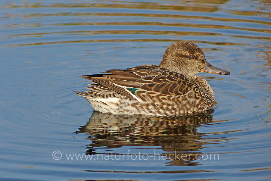 Krickente, Krick-Ente, Weibchen, Anas crecca, Eurasian teal, common teal, green-winged teal, female, La Sarcelle d'hiver