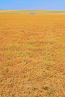Lentils. Small Green<br /> Beverley<br /> Saskatchewan<br /> Canada