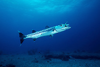 Great barracuda, Sphyraena barracuda, often drift slowly, hovering above coral reefs. Shown here, they hunt small reef fishes. Walker's Cay, Bahamas Islands