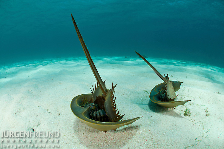 Prehistoric horseshoe crabs (Tachypleus gigas) in the sandy bottom in defensive position.
