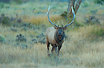 Bull Elk at Dawn, Lower Mammoth, Yellowstone National Park, Wyoming