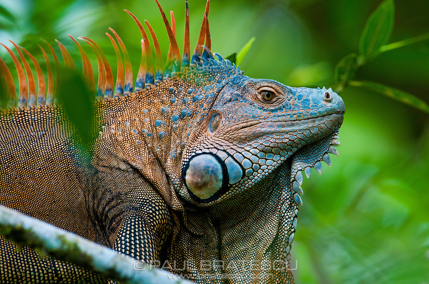 Green Iguana (Iguana iguana) exploring the upper canopy, Costa Rica.