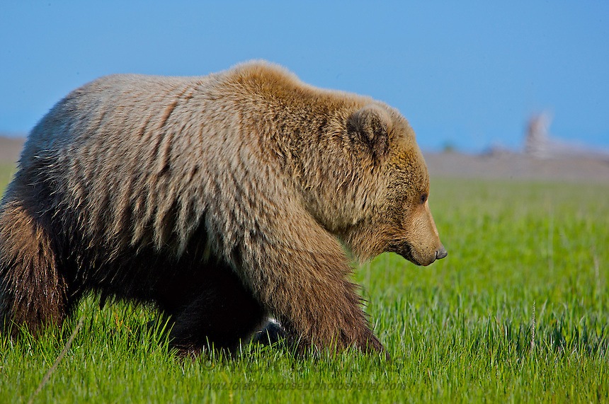 A coastal brown bear with its new spring coat enters the sedging fields at Lake Clark National Park, Alaska.