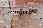 A Western Banded Gecko. (Coleonyx variegatus.) Tucson, Pima County, Arizona