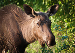 Head shot of a juvenile moose, by the road in Talkeetna, Alaska
