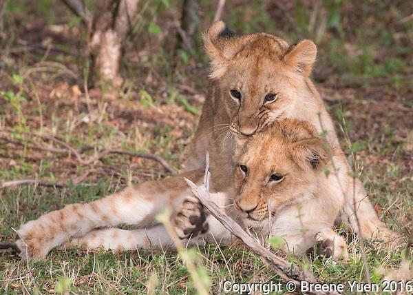 Lion Cubs at Play  Kenya 2015