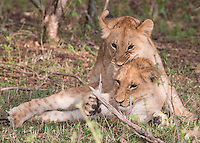 Lion Cubs at Play  Kenya 2015