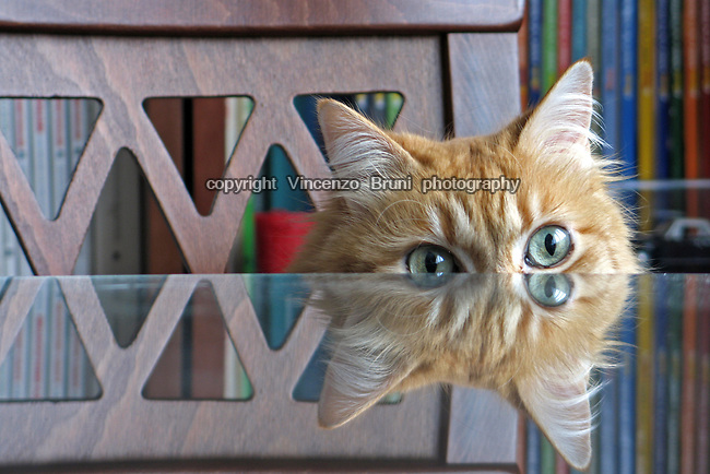 A cat is reflected by the protective glass of a table while whatching over it.