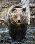 Grizzly bear sow standing in river. Yellowstone National Park, Wyoming.