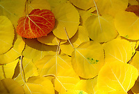 The delicate rich leaves of the Ginkgo biloba tree in fall