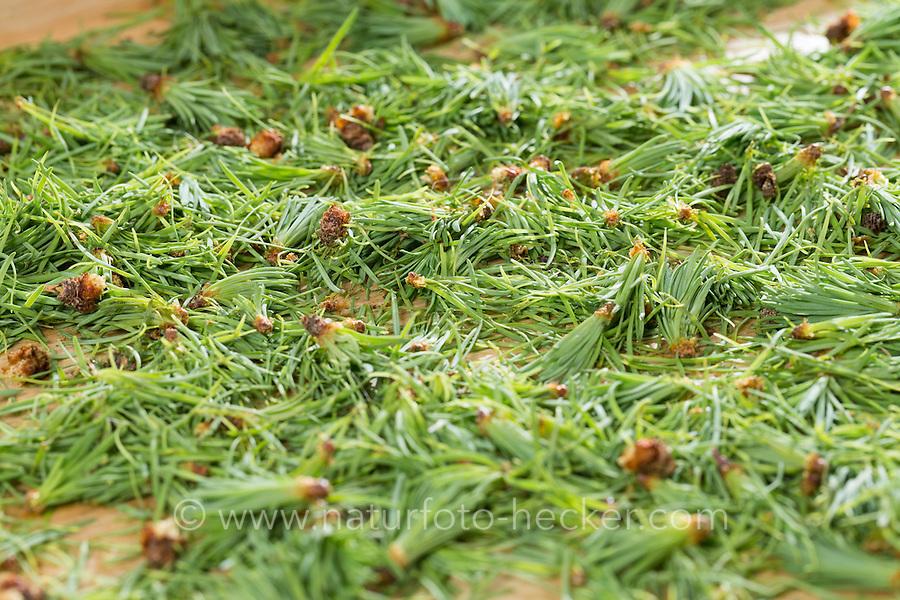 Lärchennadeln, Nadeln von Lärche, werden getrocknet, Trocknung, Ernte. Europäische Lärche, Larix decidua, European Larch, Le Mélèze d'Europe, Mélèze commun