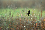 Red-winged Blackbird, San Luis National Wildlife Refuge, near Los Banos, Merced County. California