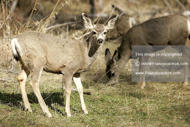 Deer, ruminant mammal belonging to the family Cervidae