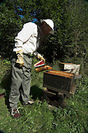 Bee Keeper tending Honey Bee Hive ( Apis mellifera), open hive with smoking canister, wearing protective head gear and gloves.United Kingdom....