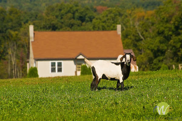 Goat in front yard.