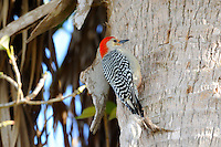 Red-Bellied Woodpecker photographed at Green Cay Wetlands,Boynton Beach, Florida