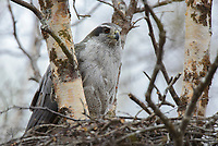 Adult female Northern Goshawk perched on nest. Yukon Delta National Wildlife Refuge, Alaska. June.