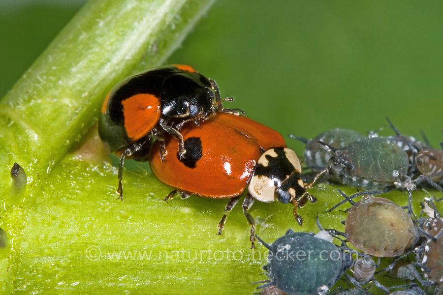 Zweipunkt-Marienkäfer, Zweipunkt, 2-Punkt-Marienkäfer, 2-Punkt, Kopulation, Paarung, Adalia bipunctata, two-spot ladybird, two-spotted ladybug, two-spotted lady beetle, copulation, pairing, La Coccinelle à deux points