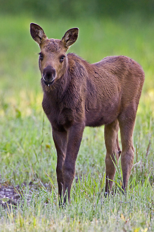 Moose calf standing in some dew covered grass