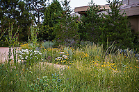 Front yard lawn substitute naturalistic meadow garden in Colorado with Wheat Grass, Mexican Hat and Shasta Daisy flowers and Cerinthe major. Design by Tom Peace