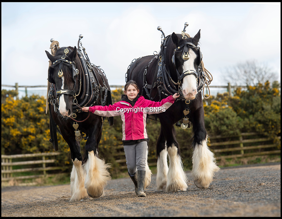 """BNPS.co.uk (01202 558833)<br /> Pic: PhilYeomans/BNPS<br /> <br /> Little & large - While most children her age are glued to computer screens or playing on mobile phones, horse-mad Maia Fletcher prefers a more ancient form of entertainment.<br /> <br /> The eight-year-old spends any time she can after school and on weekends helping her grandfather John Fletcher with his five giant Shire horses.<br /> <br /> The pint-sized groomsman is not intimidated by the daunting size of the 18 hands high, one tonne beasts and first rode one when she just three years old.<br /> <br /> Despite having her own """"normal"""" sized pony at home, Maia is far more interested in the mammoth Shires.<br /> <br /> The horse-loving youngster, who is just 4ft 6in tall, has been helping her grandfather out ever since - although she has to stand on a step-ladder to help wash and groom them and needs a leg up if she wants to go for a ride."""