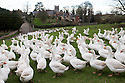 19/11/15<br /> <br /> A flock of 500 geese take their daily morning walk from their barn through the village of Croxton Kerrial, near Grantham. <br /> <br /> The geese spend their day grazing in a field over-looked by the village church in Lincolnshire, before waddling back to their warm barn at Botterill & Sons Freerange Birds at dusk.<br /> <br /> You'll need to be quick if you want to have a gander at these feathery commuters, as the six-month-old birds will all take their last stroll through the village next week as demand for goose on the Christmas dinner table continues to rise year-on-year.<br /> <br /> The farm has a total of 1500 geese and also supplies turkeys, duck and chicken for Christmas.<br /> <br /> The geese have walked through the village for 25 years. The local pub has just been renamed the Geese & Fountain and has a sign that depicts the scene.<br /> <br /> <br /> All Rights Reserved: F Stop Press Ltd. +44(0)1335 418365   +44 (0)7765 242650 www.fstoppress.com