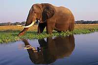 African Elephant bull (Loxodonta africana) feeding along the edge of the Zambezi River, Mana Pools National Park, Zimbabwe.
