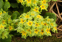 Primula 'Francisca' green and yellow flowers