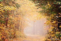 foggy two track, golden maple leaves, autumn