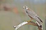 Peregrine falco