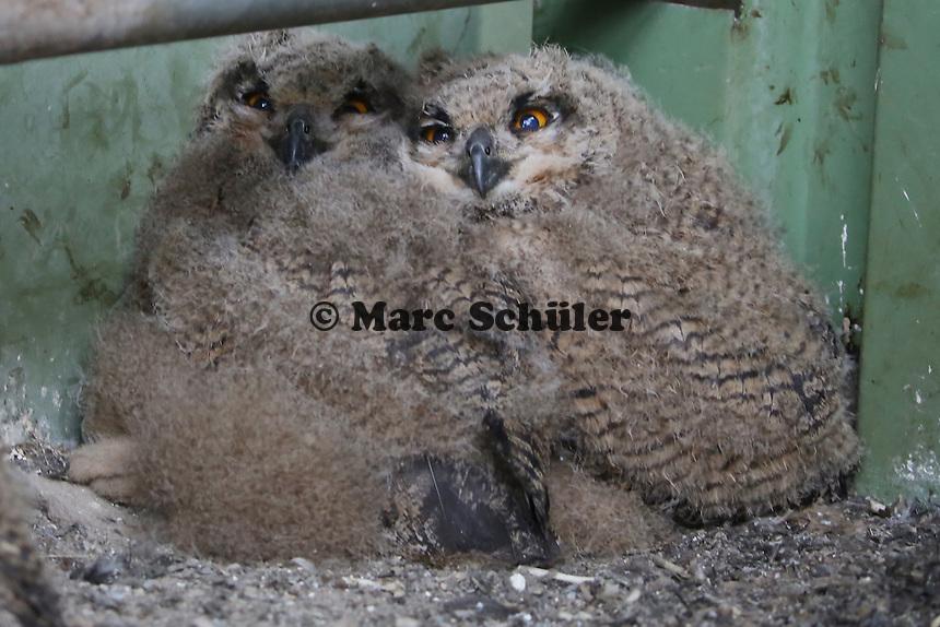 Junge Uhus warten im Turm am Abfallzentrum Büttelborn auf ihre Eltern
