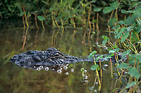 412005043 a wild adult american alligator alligator mississipiens floats in a small lily pond in sabine national wildlife refuge in southern louisiana