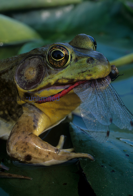 A Green Frog eating a Dragonfly. Ohio