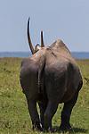 Black rhinoceros, Masai Mara National Reserve, Kenya