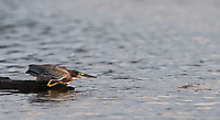 A Green heron fishes along the banks of the Rio Tarcoles.